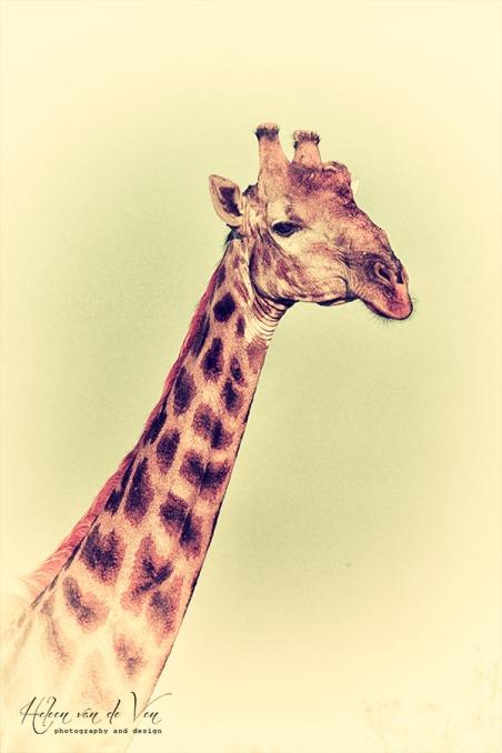 IMG_9300 giraffe wild nostalgic vintage